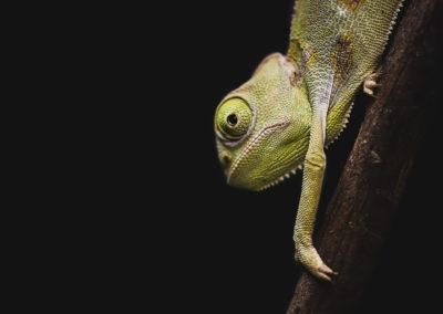 Calyptratus-caméléon-bébé